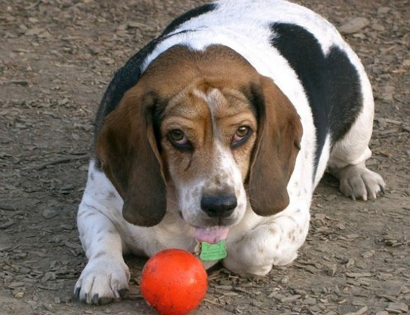 Obesit in cani e gatti fisioterapia veterinaria pisa - Beagle adulte ...