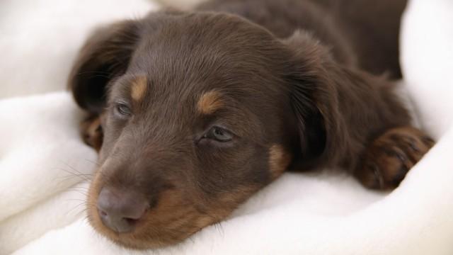 Polineuropatia cane|gatto