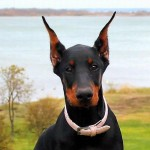 young-doberman-wallpaper-1166836430